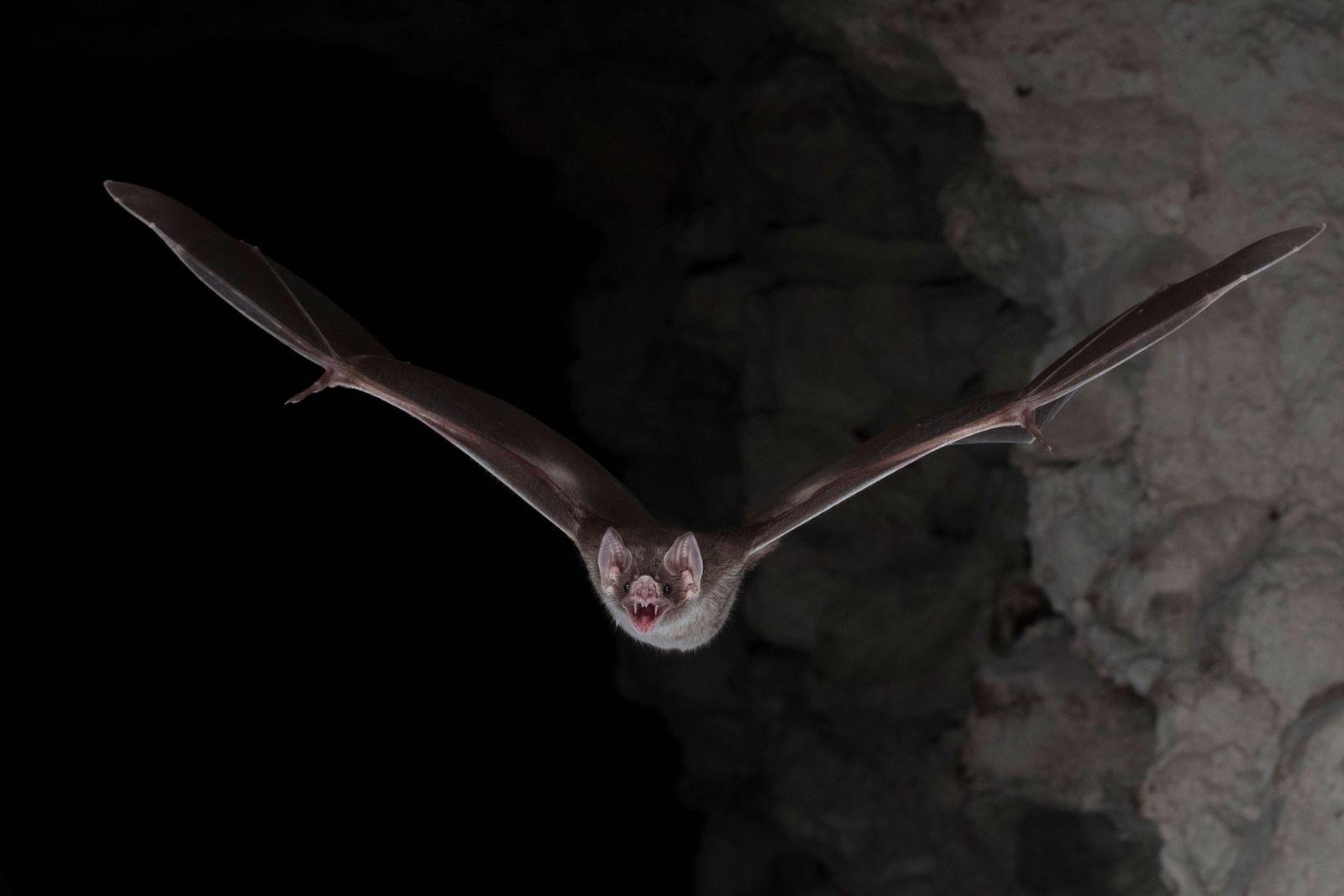 Blutsauger mit Power-Darm: Das Geheimnis der Vampirfledermäuse