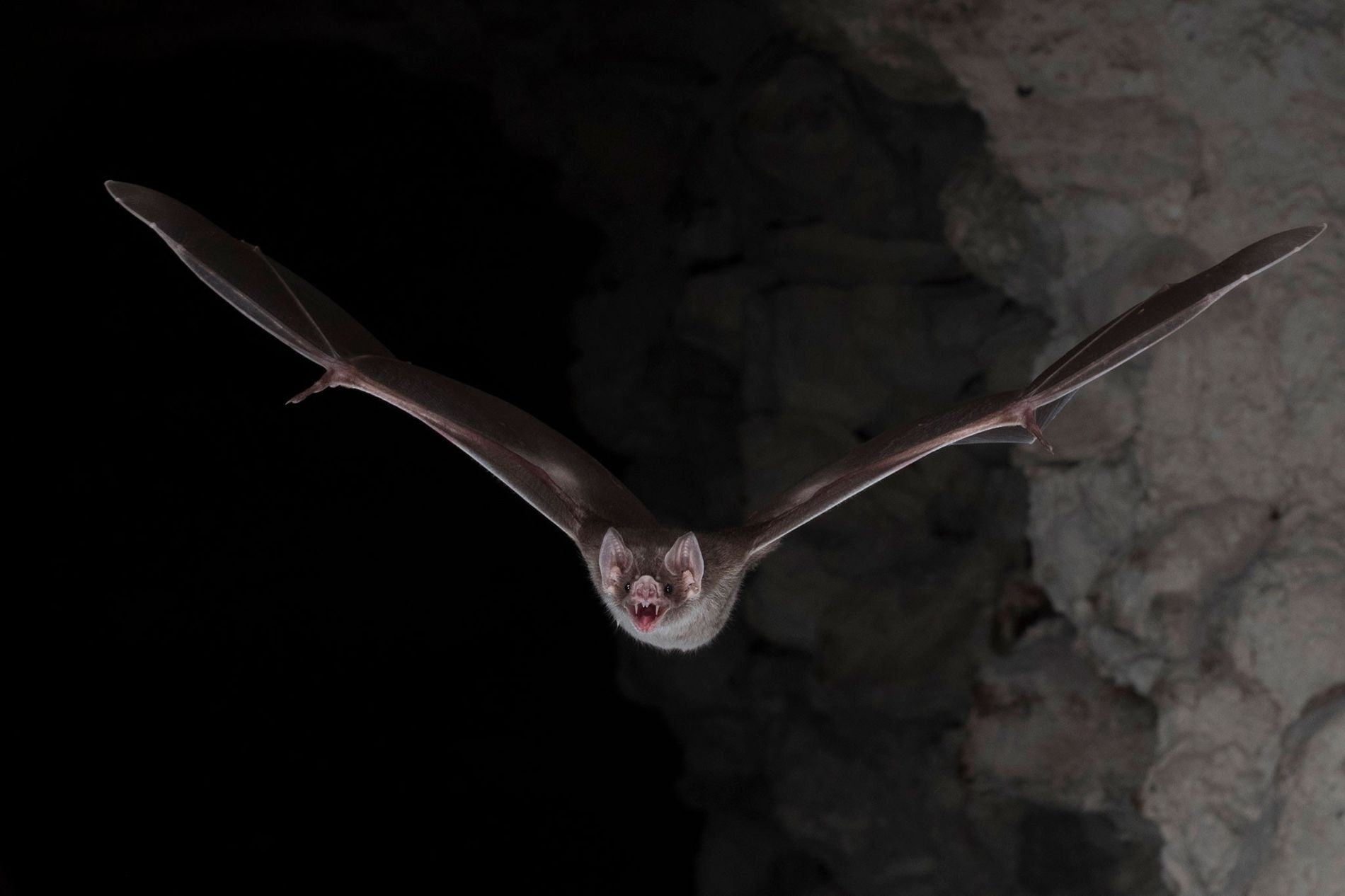 Vampirfledermäuse