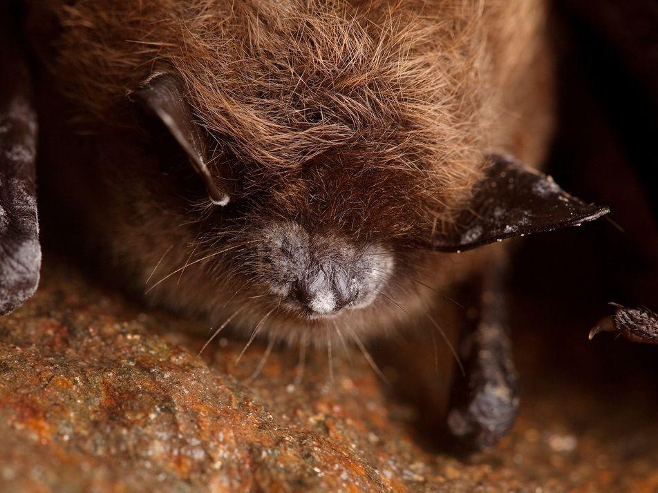 Fledermaus-Apokalypse: Forscher kämpfen gegen das Artensterben