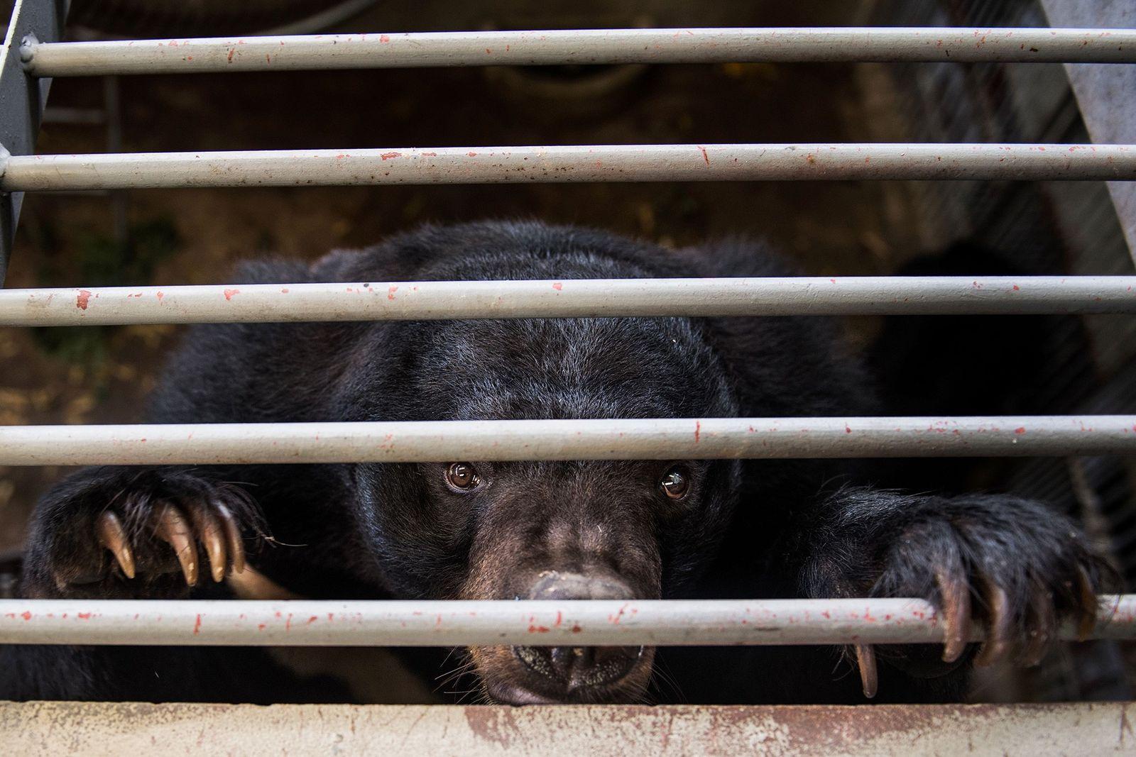 Chinas Regierung empfiehlt Bärengalle gegen COVID-19