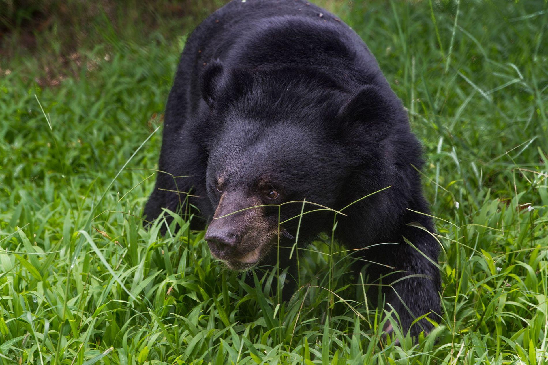 Ein Kragenbär sucht in einer Auffangstation in der Nähe des Tam-Dao-Nationalsparks in Vietnam nach Obst und Gemüse. Vietnam plant, die auf Bärenfarmen verbliebenen Tiere in Schutzzentren umzusiedeln.