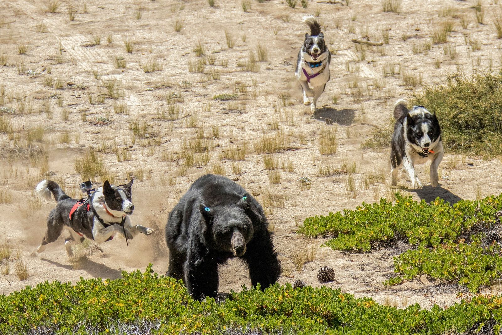 Orca (links), Dazzle (Mitte) und Rooster – Bärenhunde des Department of Wildlife in Nevada – vertreiben ...