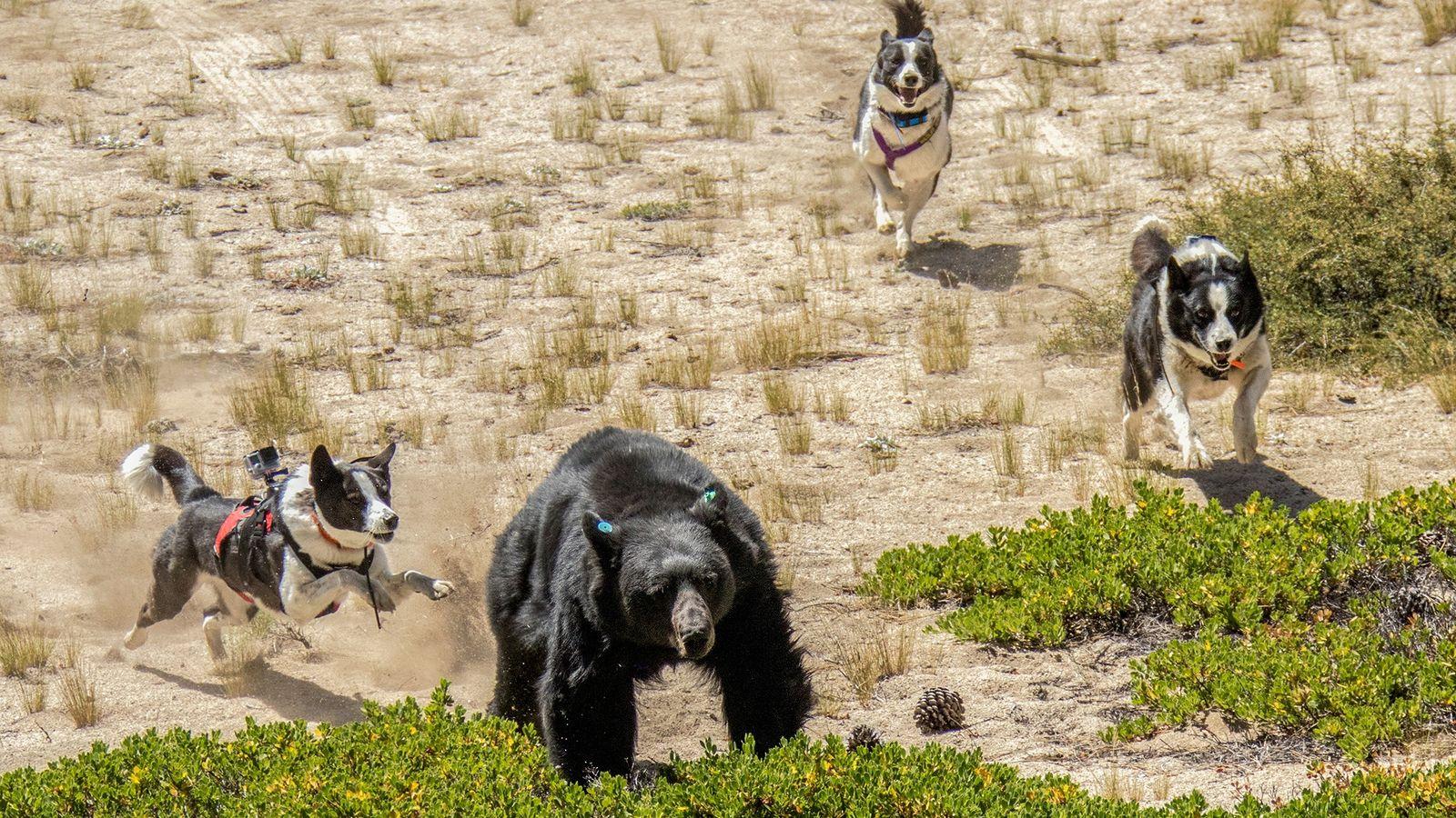 Orca (links), Dazzle (Mitte) und Rooster – Bärenhunde des Department of Wildlife in Nevada – vertreiben ...