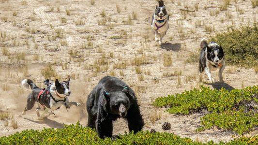Hetzjagd mit Happy End: Bärenhunde im Einsatz