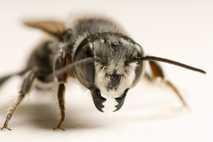 Porträt einer Blattschneiderbiene. Man vermutet, dass diese Bienen in Argentinien Plastik für den Nestbau nutzen.