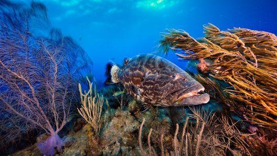 Ein Schwarzer Zackenbarsch schwimmt durch einen Korallengarten in Belize. Das Land setzt neue Maßnahmen um, um ...