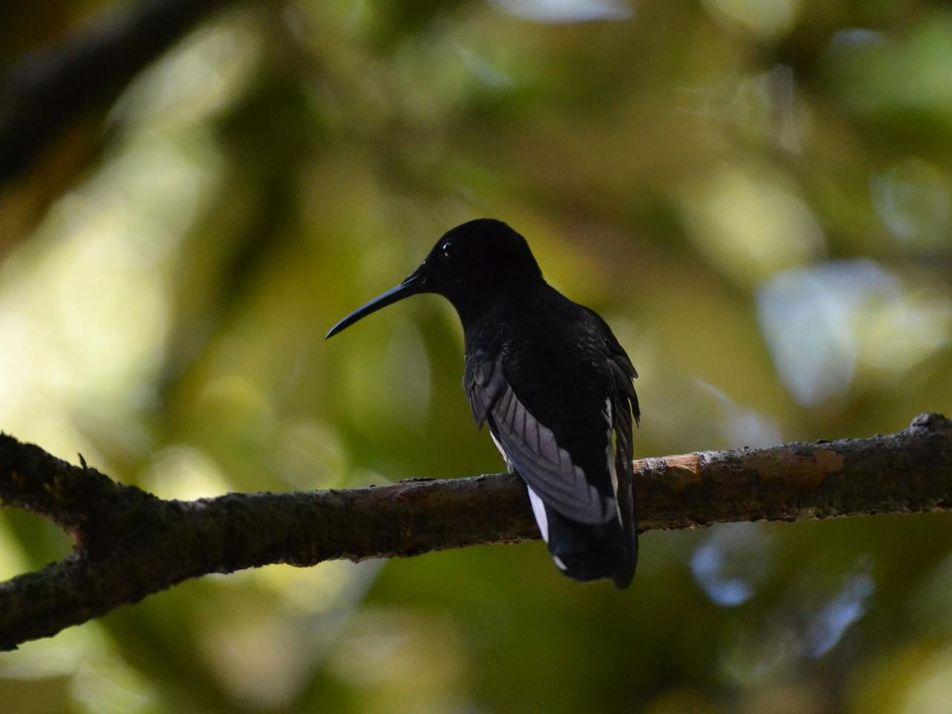 Geheimnisvoller Kolibri hat höchstfrequenten Ruf im Vogelreich