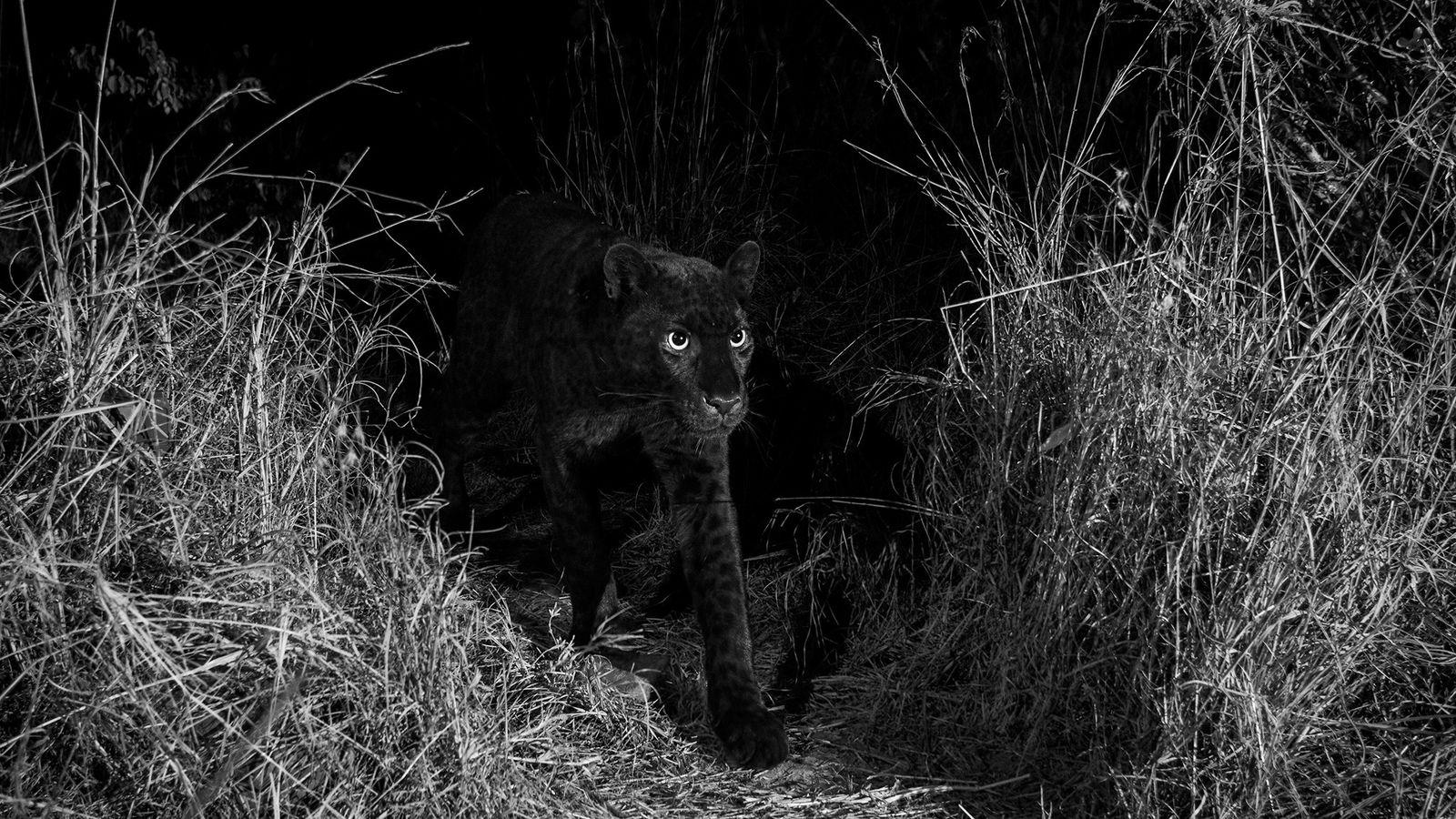 Ein extrem seltener, schwarzer Leopard läuft durch das Laikipia Wilderness Camp in Kania (2018).