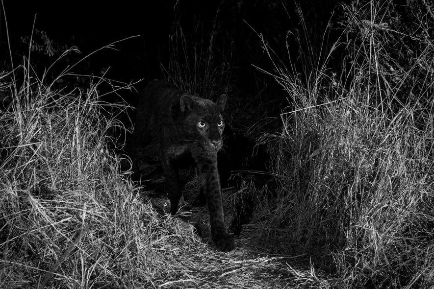 Erstmals seit 100 Jahren: Schwarzer Leopard in Afrika dokumentiert