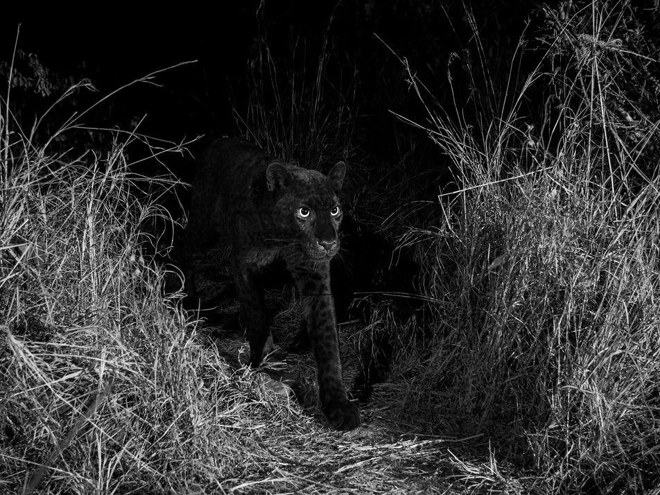 Erste Dokumentation eines schwarzen Leoparden in Afrika seit 1909