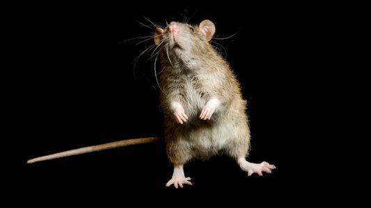 Ratten womöglich doch nicht für mittelalterliche Pestausbrüche verantwortlich