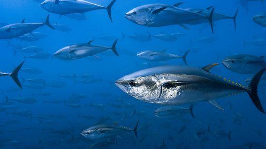 Europäische Strafverfolgungsbehörden haben eine gewaltige Operation für den illegalen Fang von und Handel mit Thunfisch aufgedeckt.