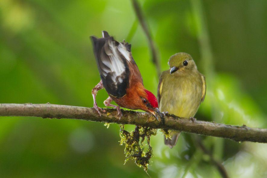 Ein männlicher Keulenschwingenpipra lockt ein Weibchen durch die harmonischen Klänge an, die er mit seinen Flügeln ...