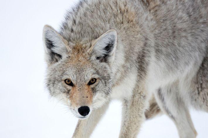 Kojoten sind dem Biologen John Shivik zufolge eher unterwürfig.