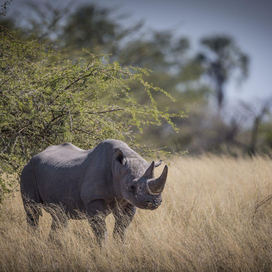 Wilderei: Botswana evakuiert seine letzten Spitzmaulnashörner