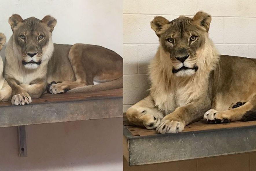Stilvoll: Löwin wächst eine Mähne