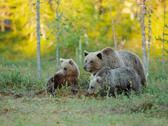 Bärenmütter kümmern sich länger um ihre Jungtiere – eine Folge der Bejagung?