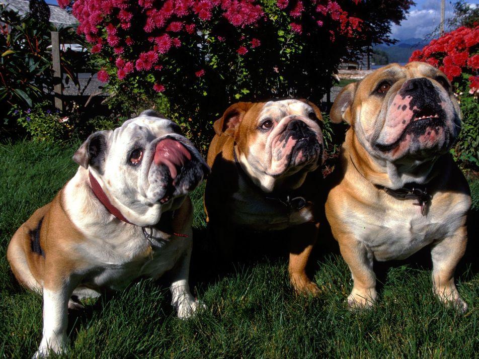 Niedlich & todkrank: Bulldoggen gehen am Rassestandard zugrunde
