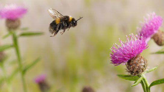 Eine Dunkle Erdhummel auf Nahrungssuche in England. Viele Hummelarten verzeichnen aufgrund des Klimawandels einen rückläufigen Bestand.