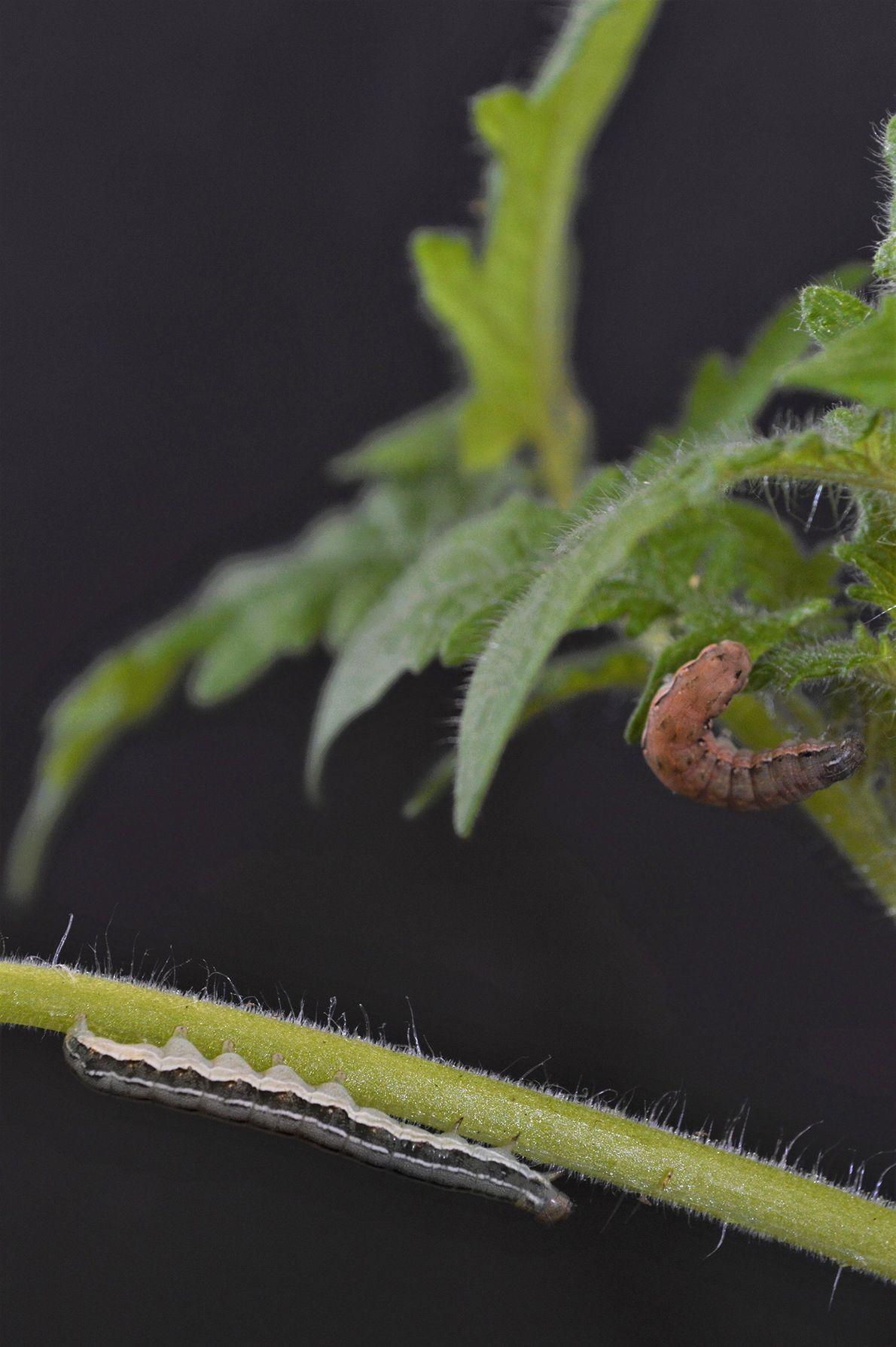 Selbstschutz: Pflanzen machen Raupen zu Kannibalen