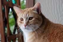 Katzen bringen ihren Namen mit Belohnung in Form von Futter oder Streicheleinheiten in Verbindung.