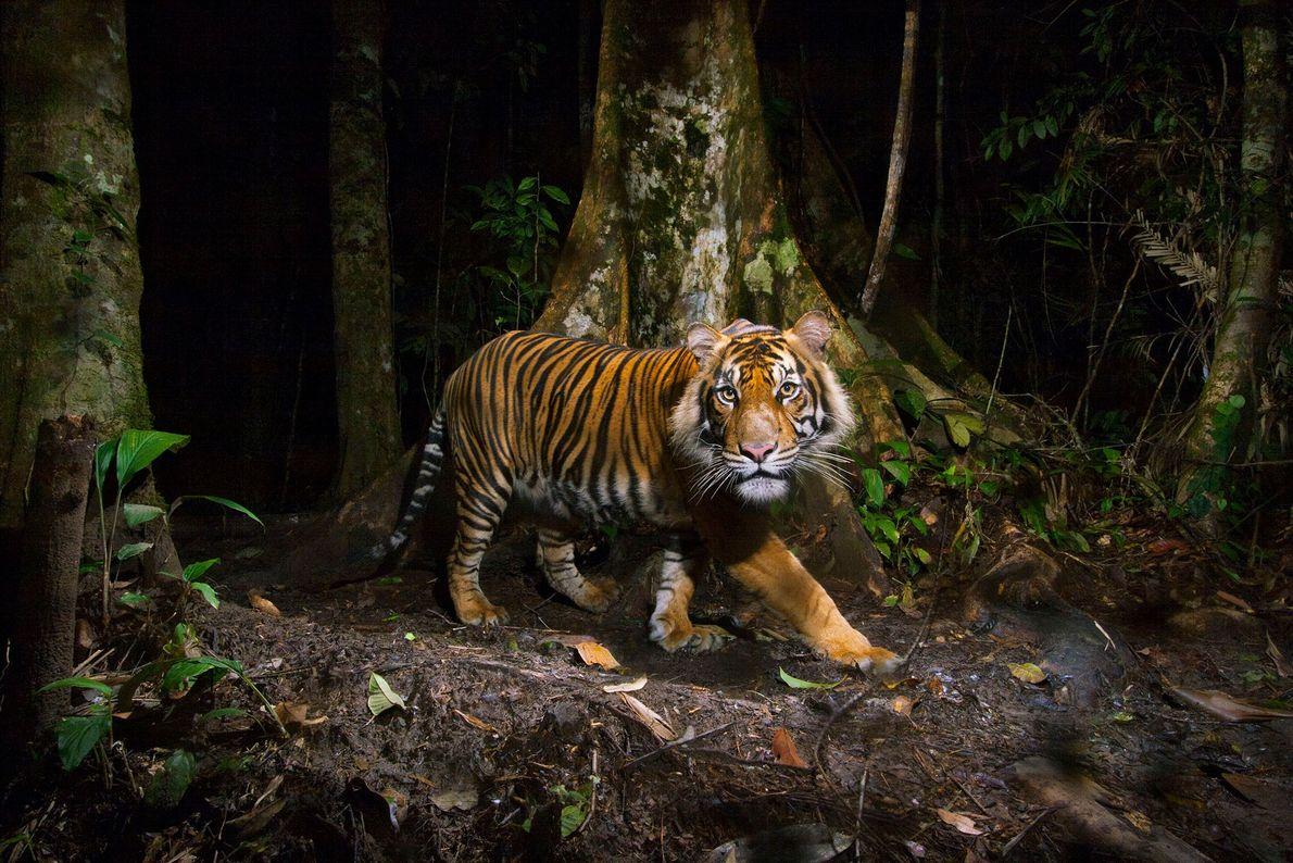 Der Sumatra-Tiger (Panthera tigris sumatrae) ist vom Aussterben bedroht und wird durch Wilderer und den Verlust ...