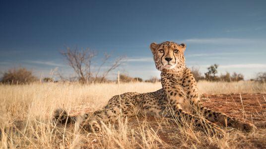 Galerie: Geparden in Aktion