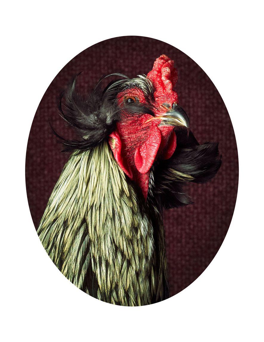 Die Eleganz der Hühner