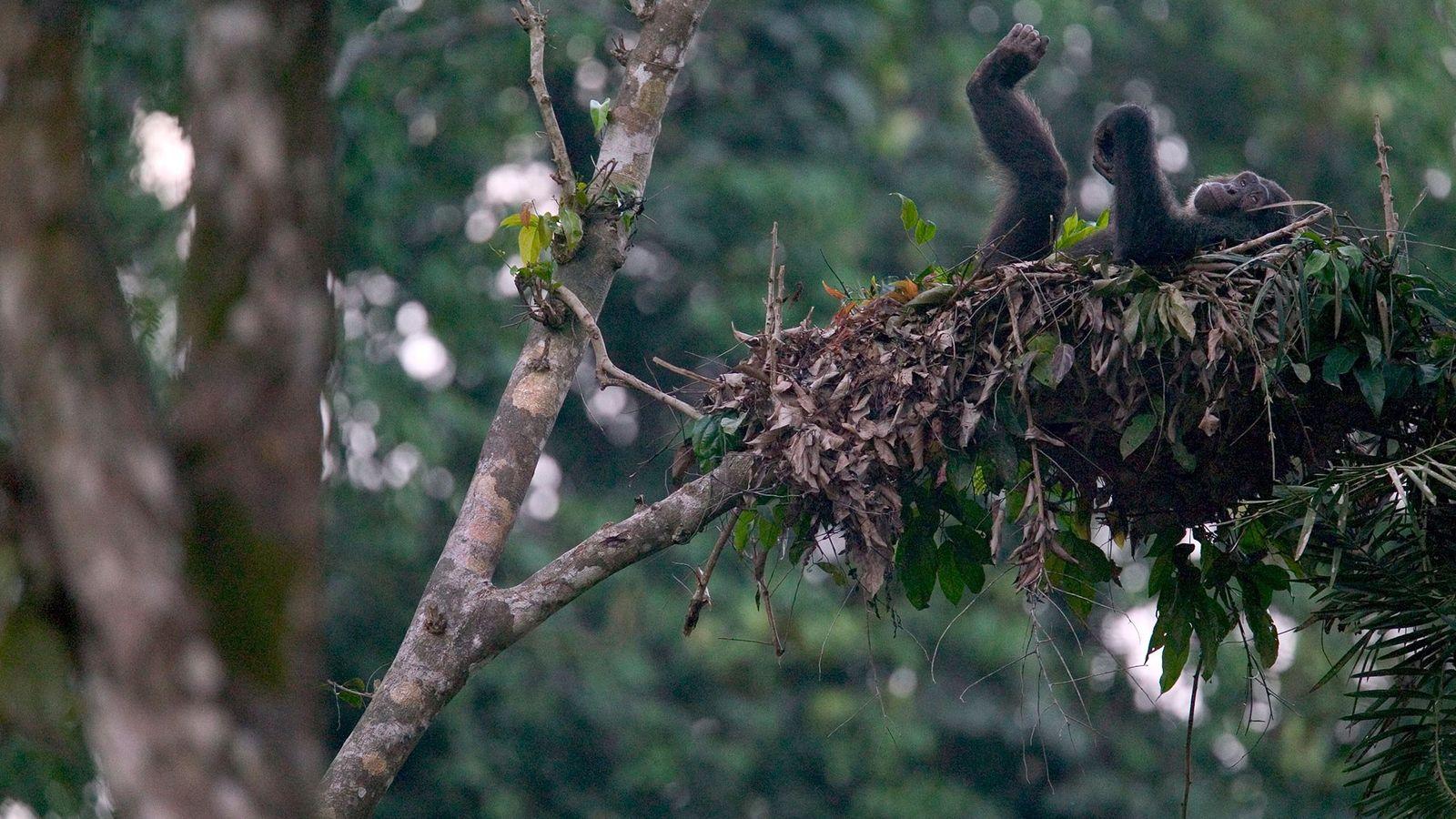 Ein Schimpanse liegt im Bundesstaat Cross River in Nigeria entspannt in seinem Bett.