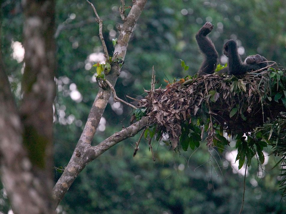 "Schimpanse oder Mensch: Wessen Bett ist ""sauberer""?"