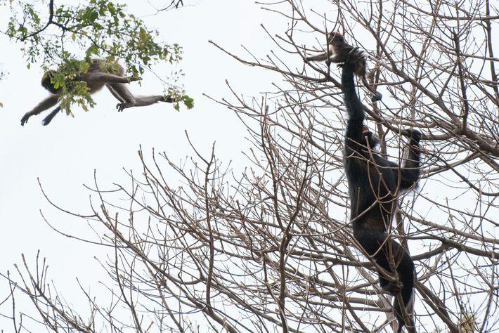 Ein Schimpanse fängt bei einer Jagd einen jungen Roten Stummelaffen.