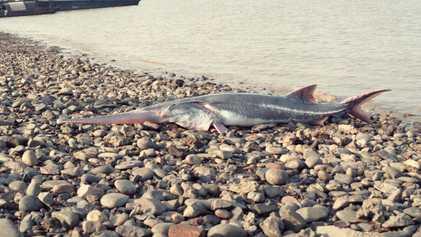 Einer der größten Fische der Welt ist ausgestorben