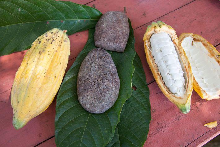 Kakaopflanzen