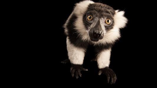 Kein Platz für Lemuren: Madagaskars Regenwaldproblem