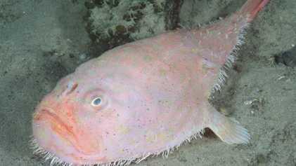 Tiefseefisch kann seinen Atem vier Minuten lang anhalten
