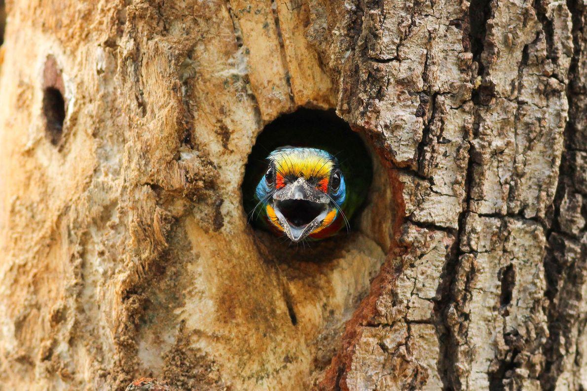 Grünbartvogel