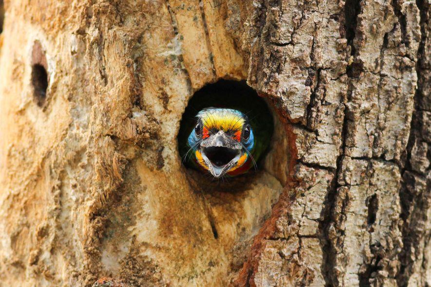 Ein Grünbartvogel der Art Psilopogon oorti. Kaohsiung, Taiwan