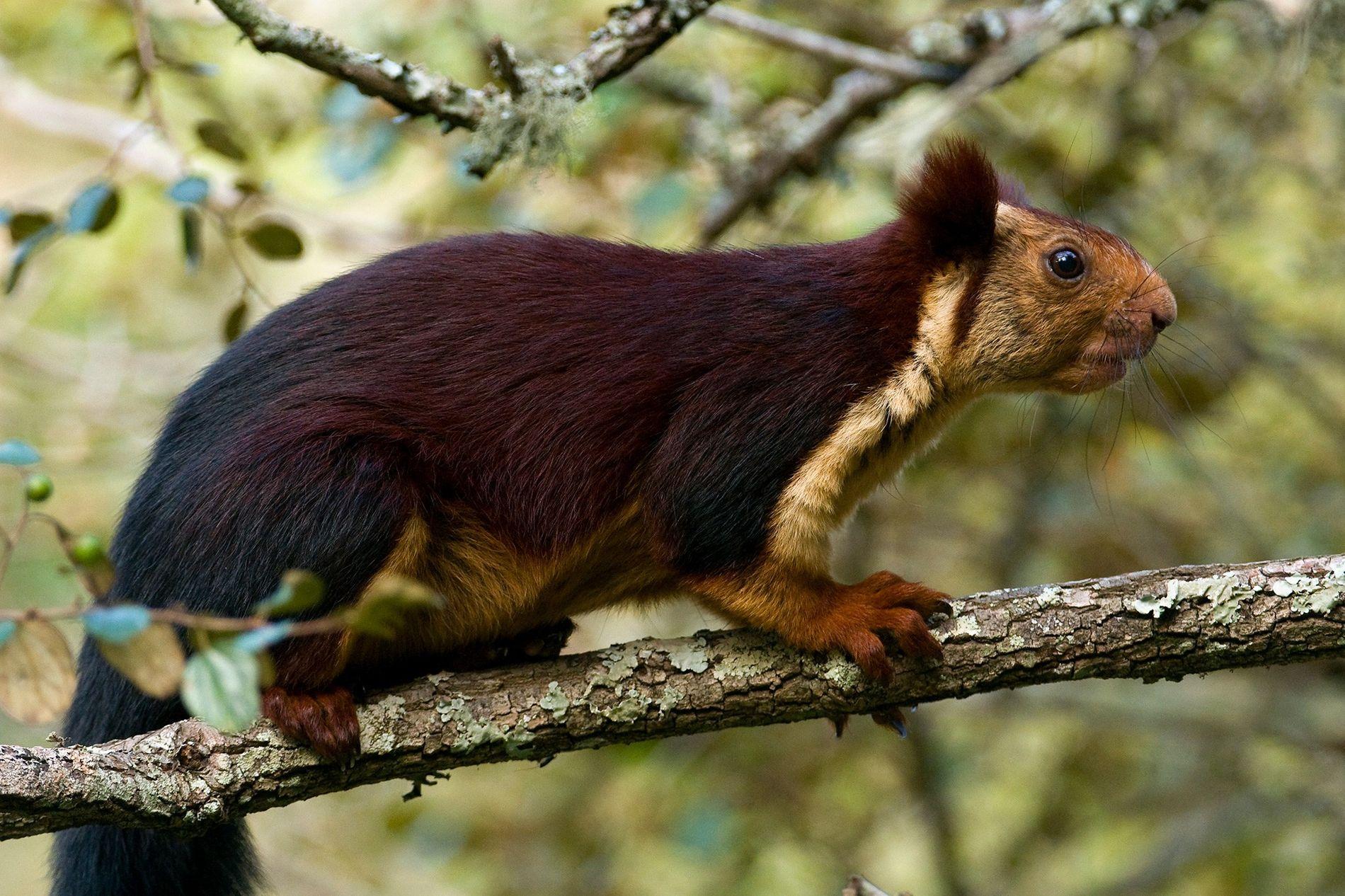 Das Königsriesenhörnchen (das hier abgebildete Exemplar wurde in Kerala in Indien fotografiert) können inklusive Schwanz mehr ...