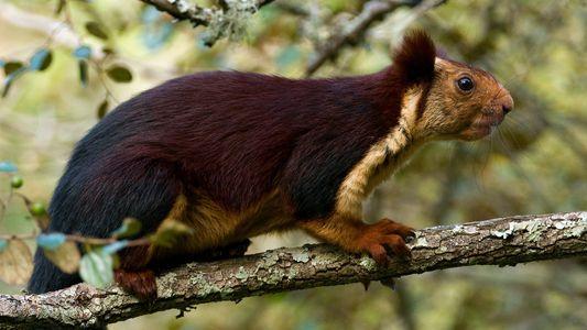 Indische Riesenhörnchen: Mehr Purpur geht nicht