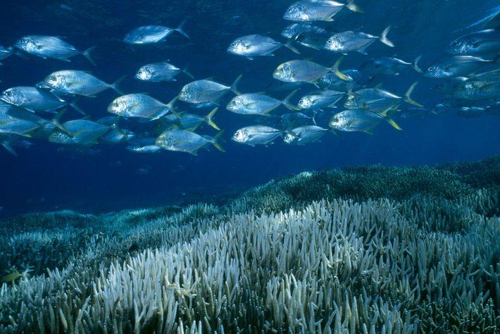 1998 erlebte das Great Barrier Reef ein schweres Ausbleichungsereignis, welches die Korallen wie diesen bei Heron ...