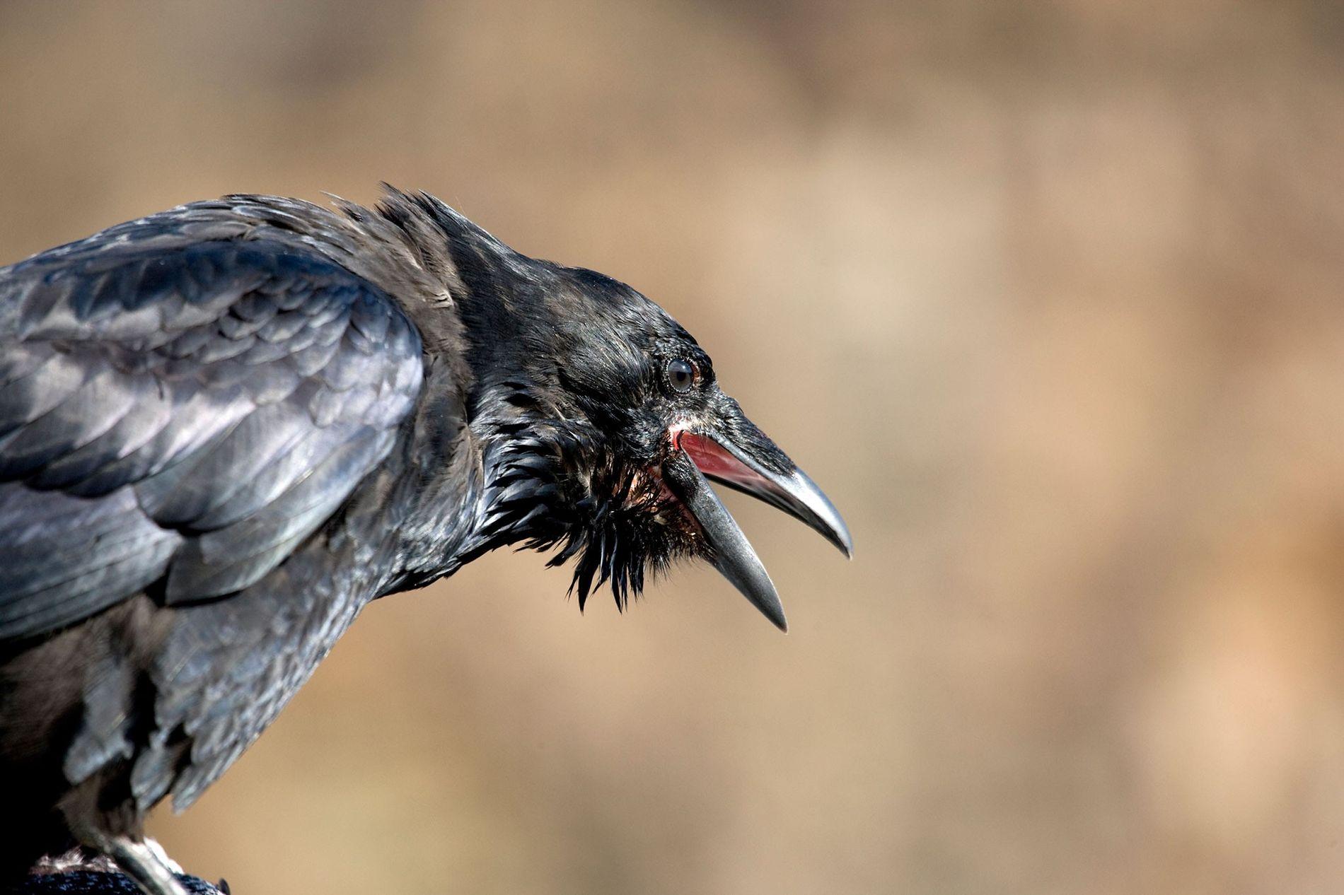 Krähen sind zwar kleiner als Raben, aber sie schließen sich zusammen, um ihre größeren Verwandten zu ...