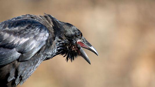 Wissenschaft bestätigt: Krähen hassen Raben