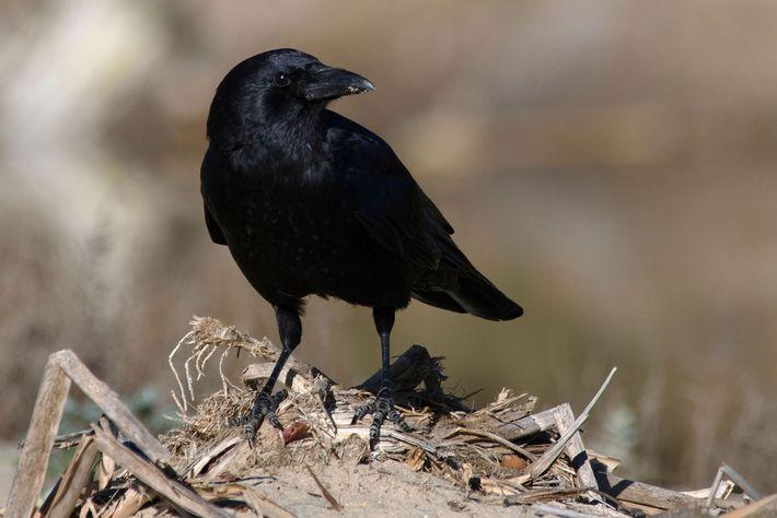 Die Amerikanerkrähe (Corvus brachyrhynchos) gehört in vielen urbanen Gebieten Nordamerikas zum Stadtbild. Die Vögel fressen fast ...