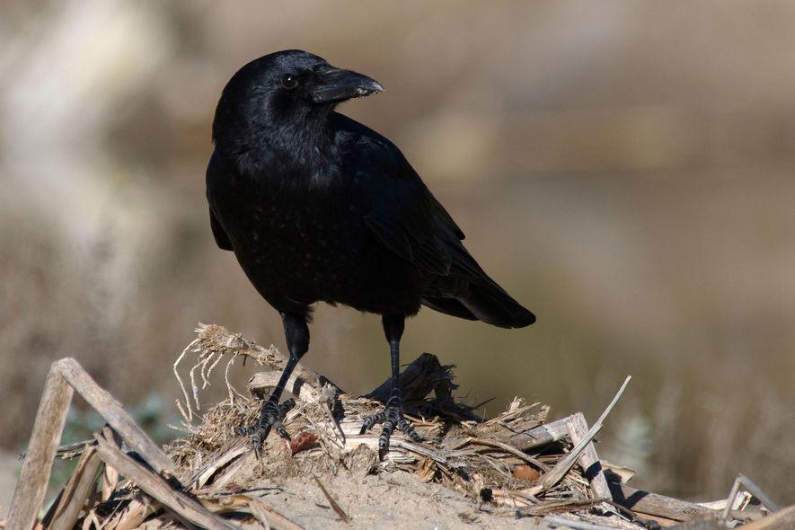 Die Amerikanerkrähe (Corvus brachyrhynchos) gehört in vielen urbanen Gebieten Nordamerikas zum Stadtbild. Die Vögel fressen fast alles, von Insekten und Körnern über Müll bis hin zu Aas.
