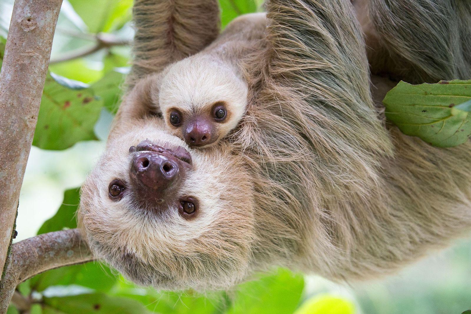 Ein weibliches Hoffmann-Zweifingerfaultier trägt Aviarios Sloth Sanctuary in Costa Rica ihr zwei Monate altes Jungtier.