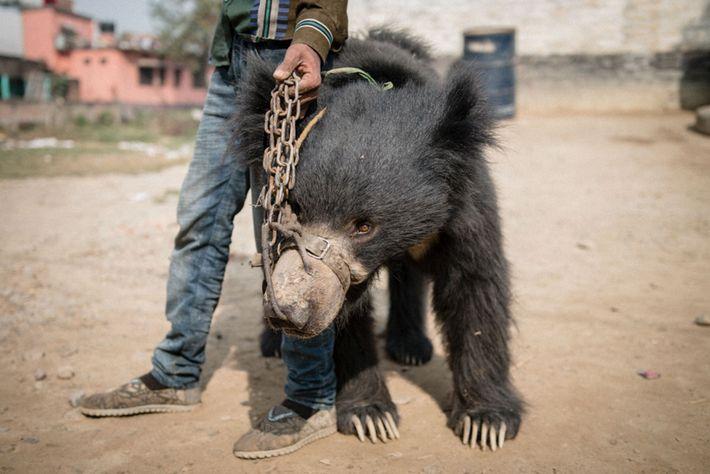 Rangeela, einer der beiden geretteten Lippenbären, steht neben seinem Besitzer. Dieser hält eine Kette, die durch ...