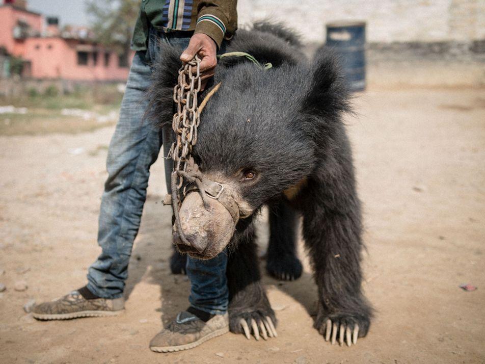 Nepals letzte bekannte Tanzbären wurden gerettet