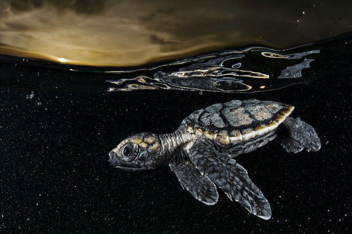 Ein Jungtier der stark gefährdeten Echten Karettschildkröte auf seinem Weg ins offene Meer.