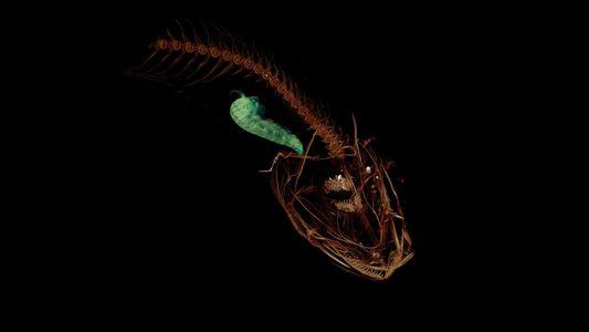 Neue Fischart stellt Tiefenrekord auf