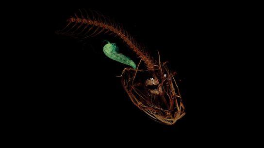 Diese Röntgenaufnahme zeigt das Innenleben eines Scheibenbauchs, der nun offiziell der in größter Tiefe lebende Fisch ...